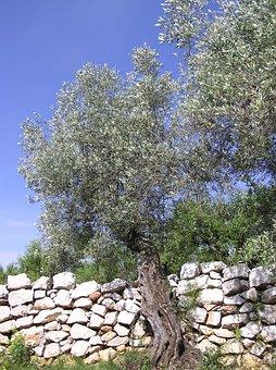 Olive, Trees, Nature, Landscape, Forest