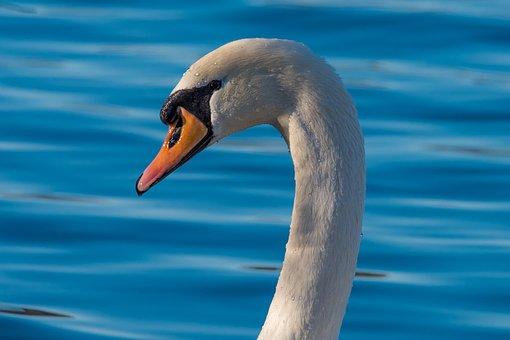 Swan, Fowl, Wildlife, Water, Feather, Lake, Waterfowl