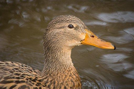 Ducks, Mallards, Landscape, Nature, Head, Animals