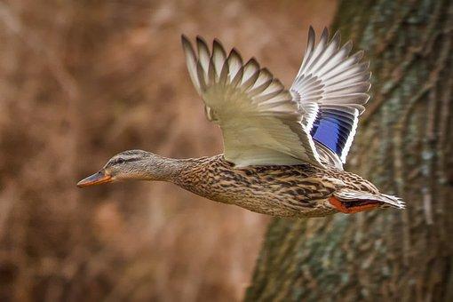 Ducks, Mallards, Landscape, Nature, Animals, Birds