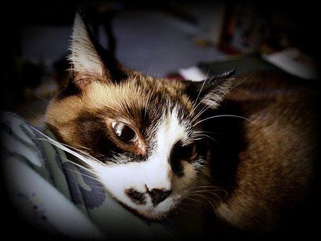 Cat, Siamese, Mix, Kitty, Feline, Animal, Cute, Pet