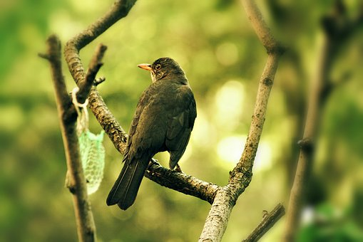Thrush, Garden, Bird, Nature, Feather, Pen, Fauna