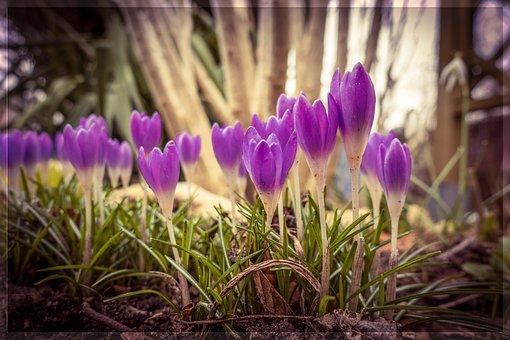 Spring, Crocus, Flower, Spring Flower, Nature, Garden