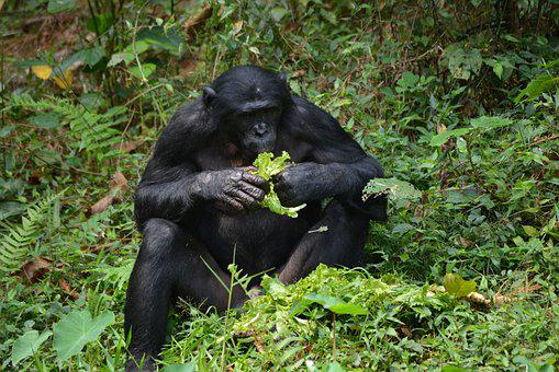 Bonobo, Primate, Ape, Lola Ya Bonobo, Congo, Kinshasa