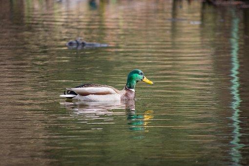 Pond, Lake, Ducks, Mallards, Water, Reed, Waters, Bank