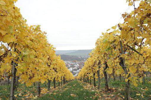 Wine, Vineyard, Grapes, Autumn, Winemaker