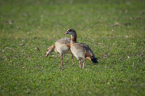 Nilgans, Goose, Field, Water Bird, Bird, Plumage