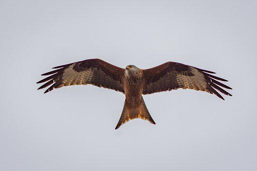 Milan, Raptor, Bird Of Prey, Wildlife Photography