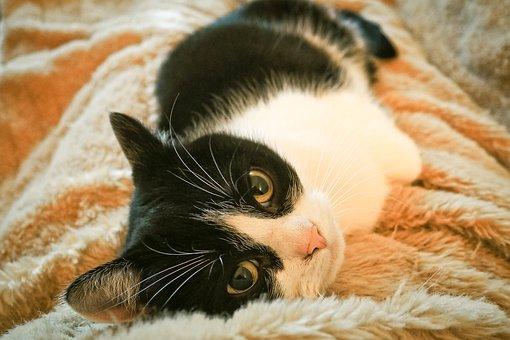 Cat, Animal, Pet, Domestic Cat, Cat's Eyes, Nature