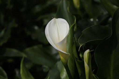 Calla, Flowers, Bamboo Lake