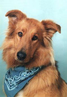 Collie Mix, Collie, Dog, Pet, Canine, Bandana