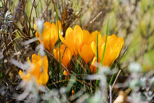 Crocus, Flower, Bühen, Spring Flower, Blossom, Bloom