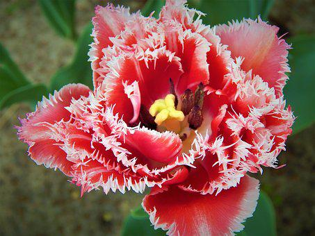 Tulip, Makrosemka, Flowers, Double Tulip