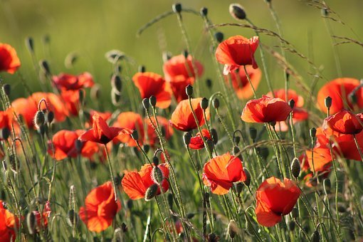 Flowers, Meadow, Summer, Nature, Plants, Cornflowers