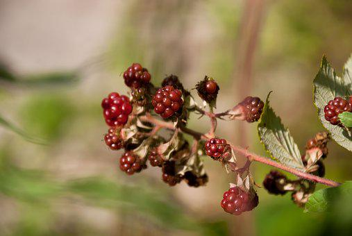 Blackberries, Blackberry, Mulberry, Fruit, Shrub