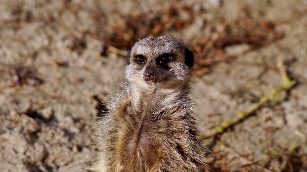 Meerkat, Timon, Nature, Zoo, Animal, Animals, Mammal