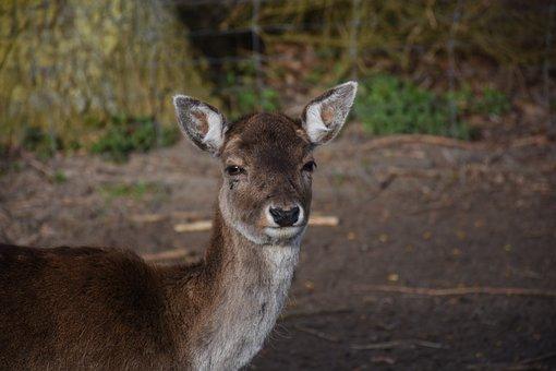Deer, Nature, Animal, Fauna, Garden, Zoo, Spring, Heide