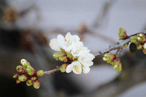 Cherry Blossom, Spring, New, White, Diversity, Nature