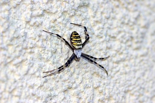 Wasp Spider, Spider, Toxic, Network, Structural Plaster