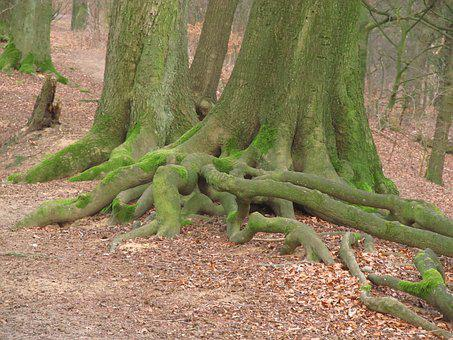 Tree Root, Root, Tree, Old, Forest, Old Root, Log