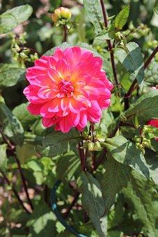 Dahlia, Flower, Plant, Summer, Pink, Garden, Nature