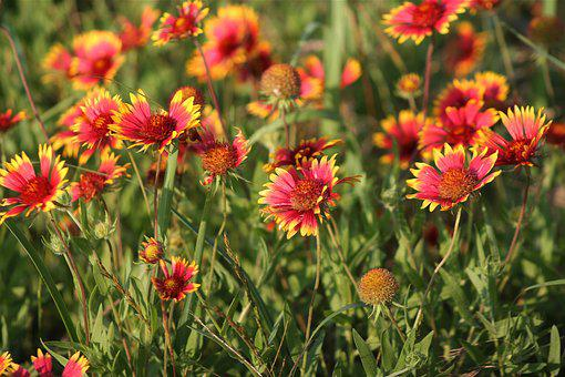 Indian Blanket, Red Flower, Wildflower, Spring, Nature