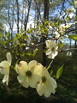 Dogwood, Spring, Flower, White, Nature, Blooming