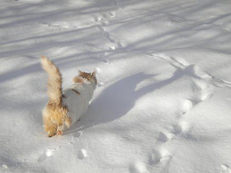 Cat Walking, In The Snow, Cat, Snow, Winter