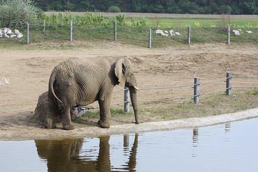 Elephant, African Elephant, Loxodonta Africana
