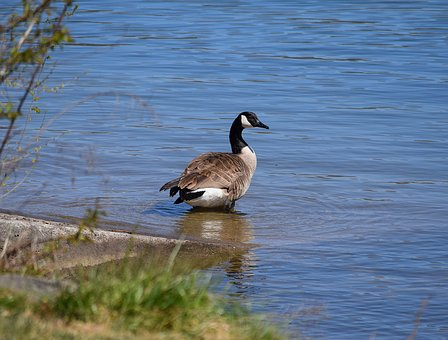 Canada Goose, Goose, Aquatic, Bird, Animal, Nature