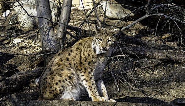 Lynx, Cat, Animal, Eurasischer Lynx, Mammals, Attention
