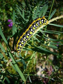 Caterpillar, Butterfly, Spurge Hawkmoth