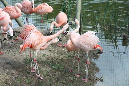 Flamingos, Czerwonaki, Czerwonakowate