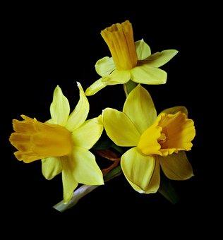 Osterglocken, Daffodils, Spring Flowers