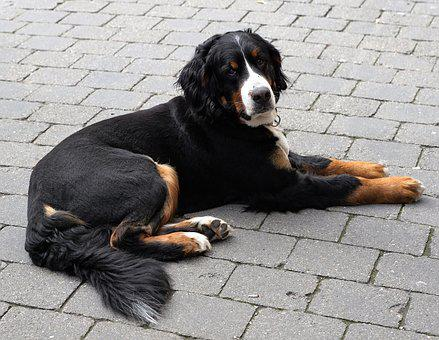 Dog, Animal, Black, Pet, White, Patch, Recovery