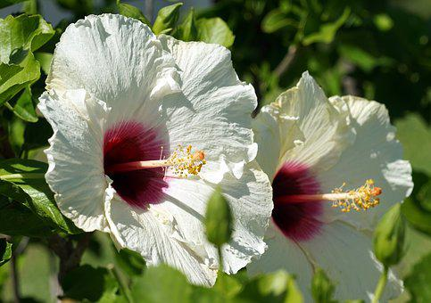 Hibiscus, Blossom, Bloom, White, Flower, Mallow, Close