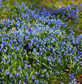 Blue Star, Siberian Blaustern, Flowers, Close, Nature