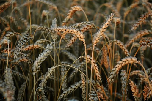 Wheat, Cereals, Field, Go, Harvest, Grow, Countryside