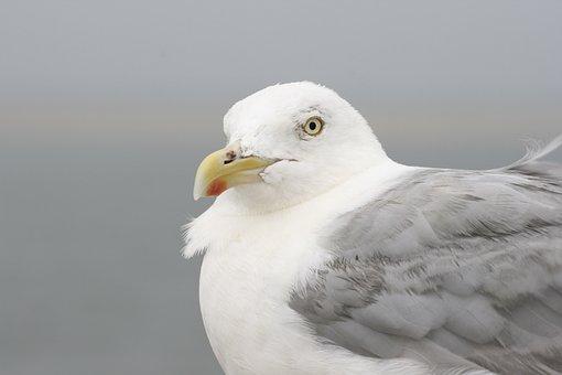 Möwe, Vogel, Federn, Kopf