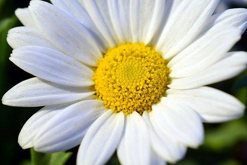 Marguerite, Blossom, Bloom, Close, Open, Flower, White