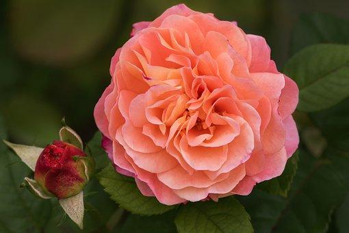 Nature, Garden, Flowers, Roses, My Garden Roses
