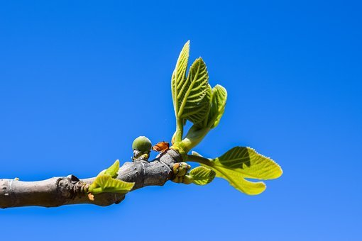 Fig Tree, Branch, Leaf, Fruit, Plant, Nature