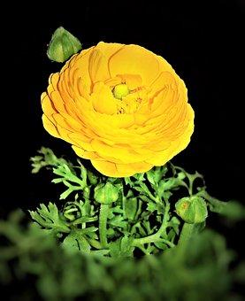 Plant, Ranunculus, Early Bloomer, Hahnenfußgewächs