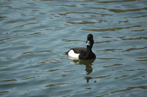 Row Pension, Duck, Drake, Water Bird, Bird