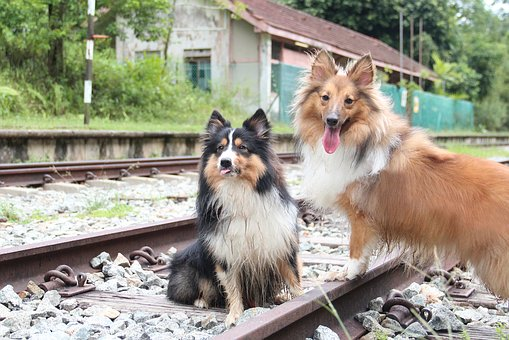 Shetland Sheepdog, Otrain Track, Shelties, Dog