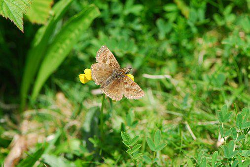 Dingy Skipper, Skipper, Butterfly, Wildlife, Sussex
