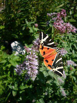 Butterfly, Spanish Flag