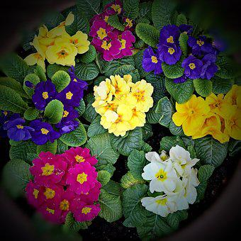 Spring Flowers, Primroses, Many Colorful Colors, Yellow