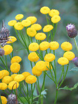 Tansy, Yellow, Flower, Summer, Tanacetum Vulgare