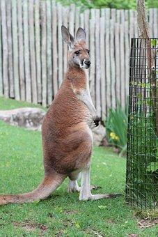 Kangaroo, Zoo, Tennessee, Nashville, Tn, Animal, Nature